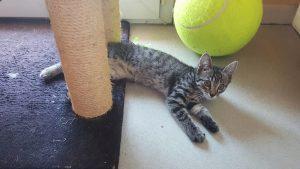 NANOU - jolie chatonne de 3 mois