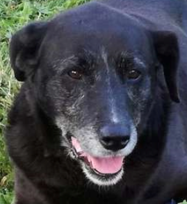 Bella femelle croisée Labrador 11 ans