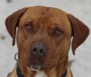 Gamin mâle croisé Labrador/Dogue 5 ans et demi