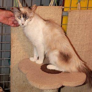 Hilda chatte adulte née le 1.09.2016