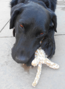 Hugue mâle croisé Labrador 5 ans