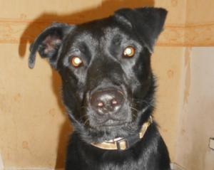 Légo mâle croisé Labrador 1 an et demi