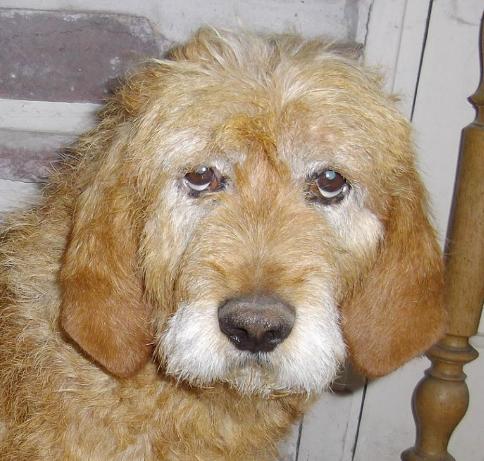 Rox mâle griffon Vendéen 10 ans