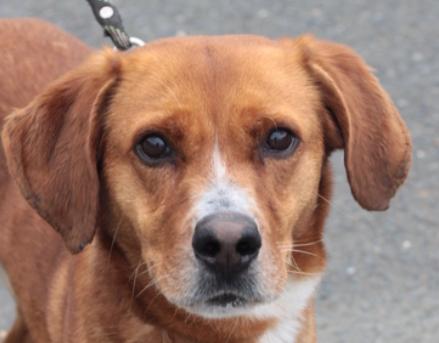 Saxo mâle croisé Labrador 2 ans et demi