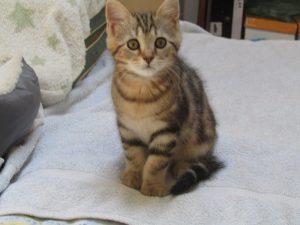 NICO chaton tigré noir - 2 mois
