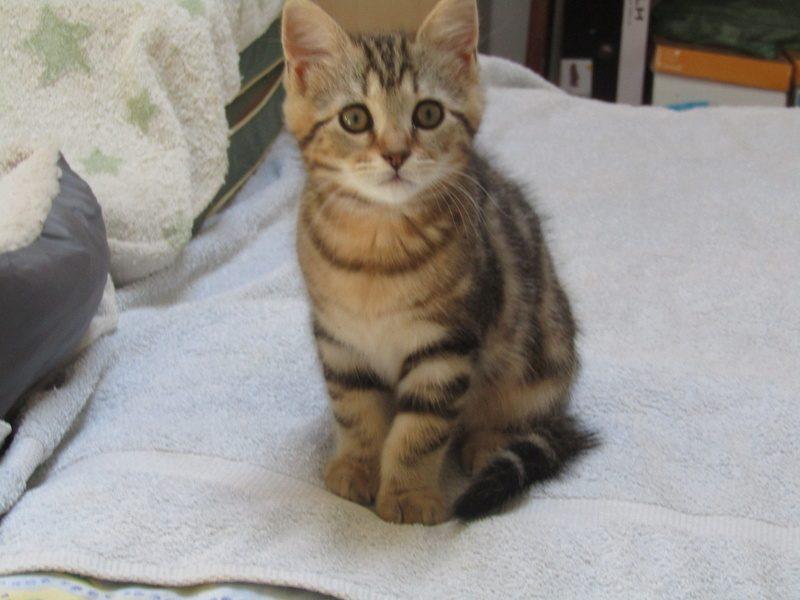 NICO chaton tigré noir – 2 mois