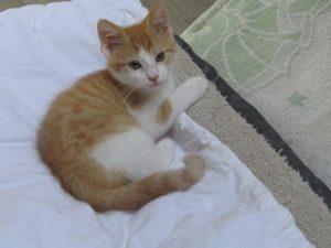 NOOKI - chaton roux 2 mois