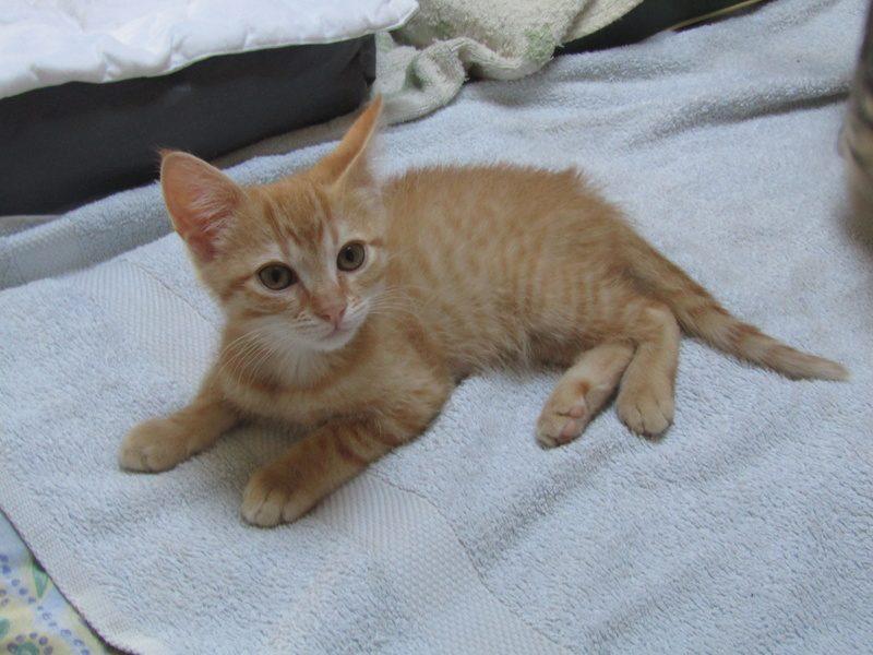 NESTLE chaton roux – 2 mois