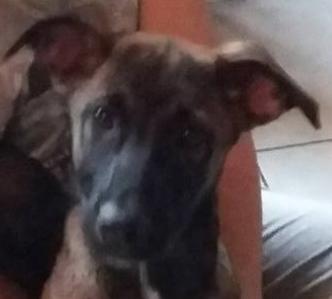 Hazyla femelle croisée Berger Malinois 4 mois