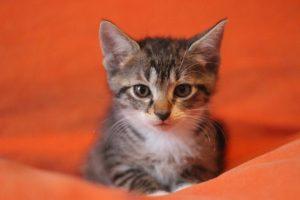 SOQUETTE chaton mâle de 2 mois et demi à poils mi-longs