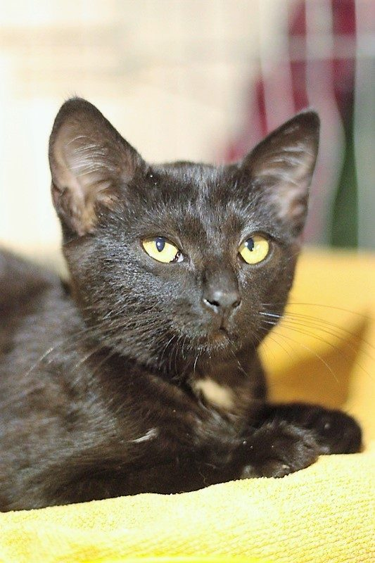Neru chaton noir 3 mois