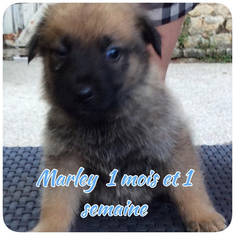 Marley chiot mâle croisé Labrador Malinois 1 mois et demi