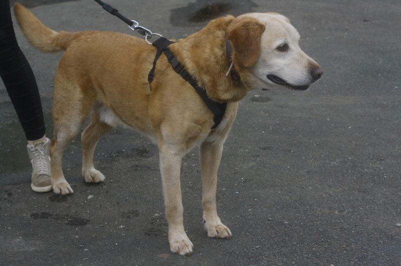 Vic mâle Labrador 11 ans
