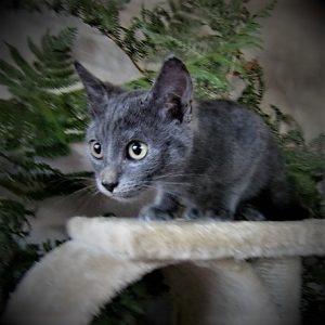 Newt chaton mâle chartreux 3 mois