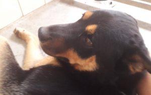 Leon mâle croisé Husky Beauceron 4 ans