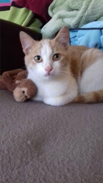 NORIS – 1 an  – jeune chat timide