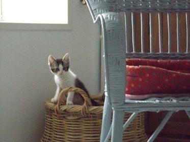 ONI – 2/3 mois – chaton espiègle