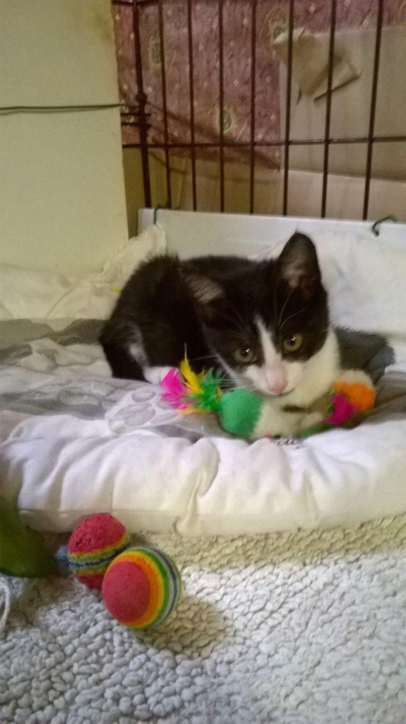 OTALIA – 4 mois – chatonne bien sympa