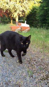 MAO -2 ans - jeune chat noir adulte -