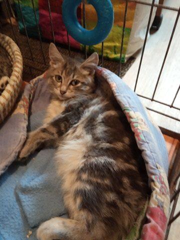 POLOCHON – 3 mois – chaton câlin