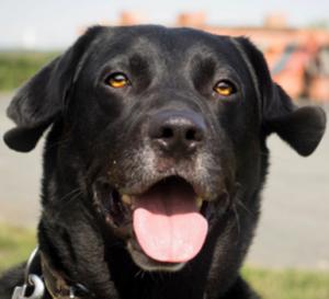 Apollo mâle Labrador 6 ans et demi