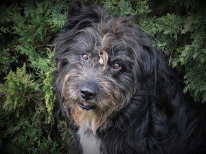 Blacky mâle Berger Roumain 8 ans