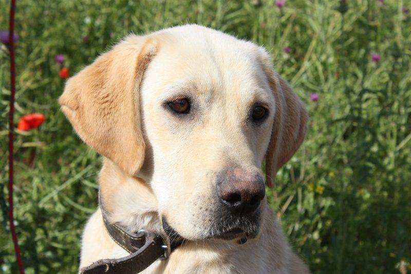 Boomrang mâle Labrador sable 6 ans