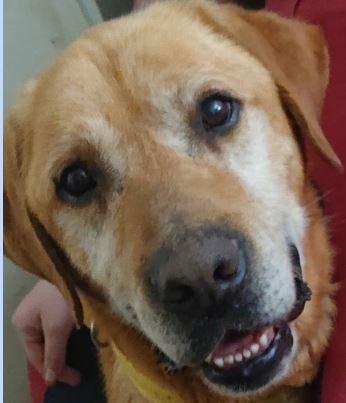 Bouba mâle Labrador Sable  9 ans