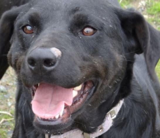 Calla femelle type Labrador 3 ans et demi