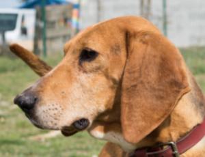 Carlos mâle Beagle croisé Anglo-Français 8 ans