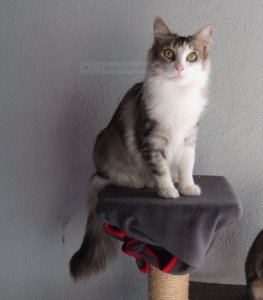CURLY - 2 ans - jolie chatte exclusive