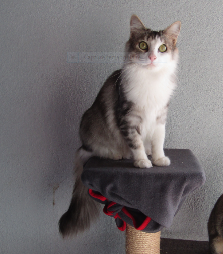 CURLY – 2 ans – jolie chatte exclusive
