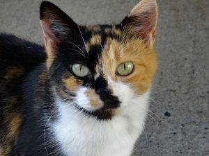 HOLIE - 6  ans - petite chatte rescapée