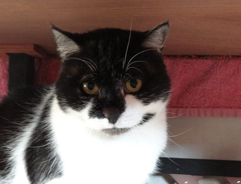 ELLIOT – 5 ans – chat timide