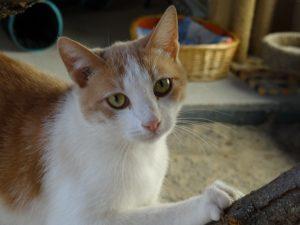 NORIS - 1 an  - jeune chat timide