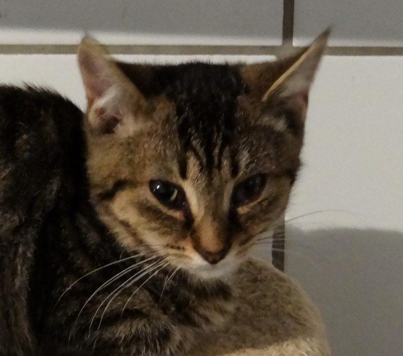 OPUS – 1 an  – jeune chat craintif