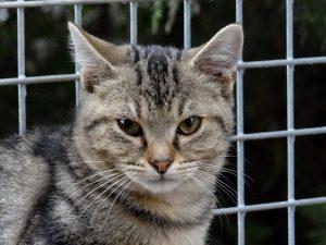ORIGAN - 1 an  - jeune chat  à apprivoiser