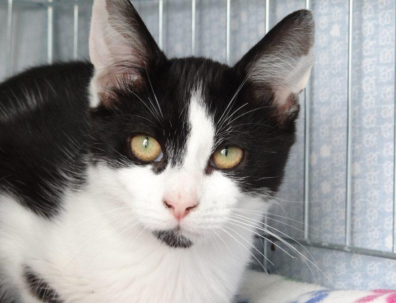 O'STON – 6 mois – chaton timide