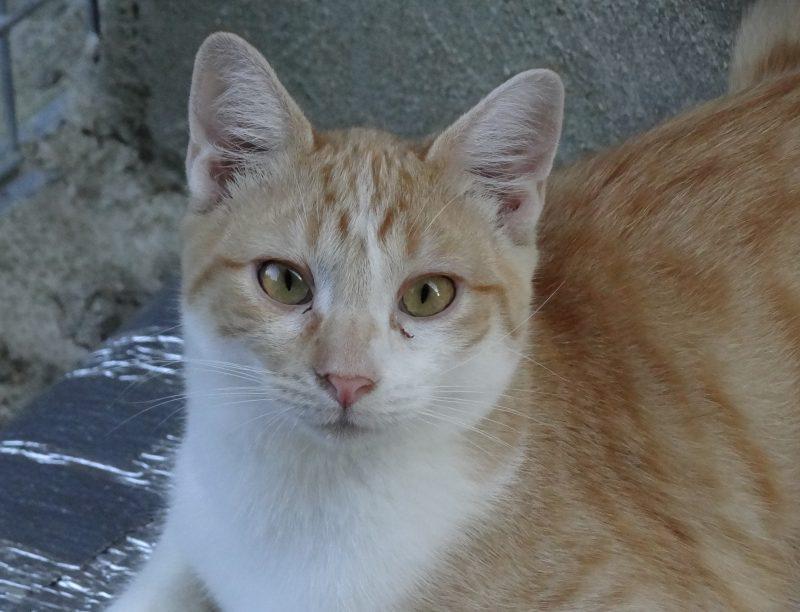 OOKY – 1 an  – jeune chat bien timide
