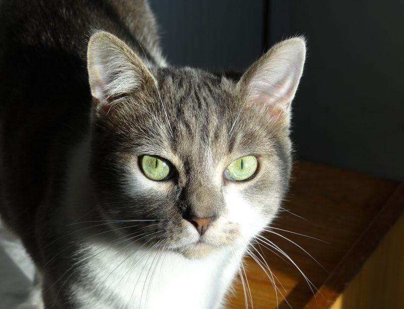 PATOU – 1 an – un amour de chat