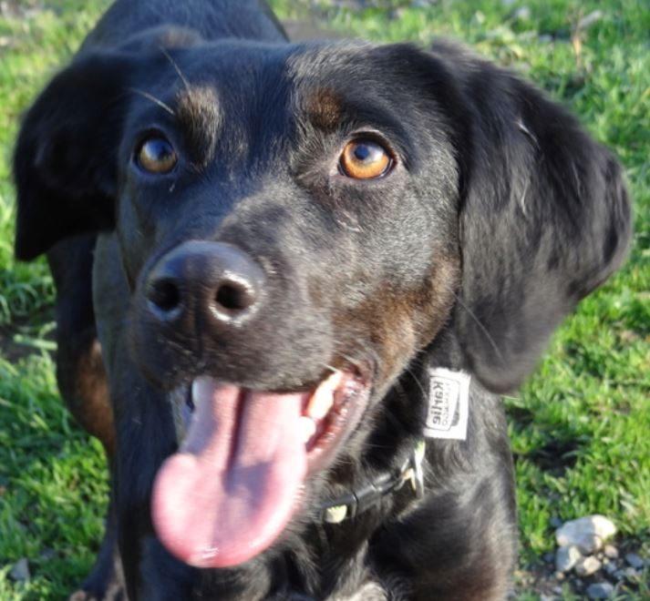 Dixi femelle croisée Labrador 2 ans