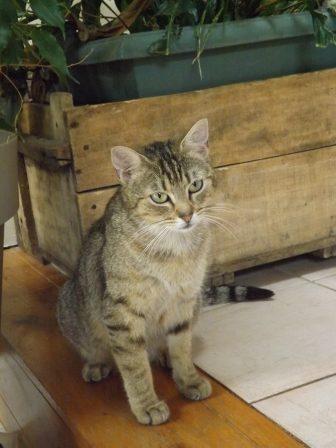 DRAGONE petite et jeune chatte tigrée