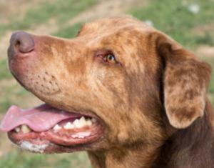 Guliver mâle croisé Labrador 6 ans