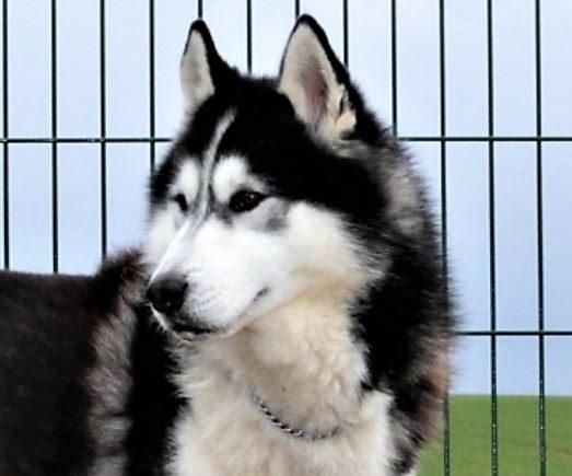 Haki mâle Husky 2 ans