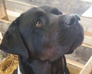 Hector mâle croisé Labrador croisé 5 ans