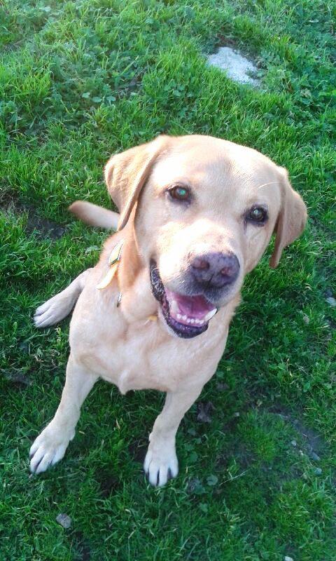 HASTA mâle Labrador 8 ans et demi