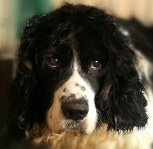 DISCO Springle Spaniel 12 ans