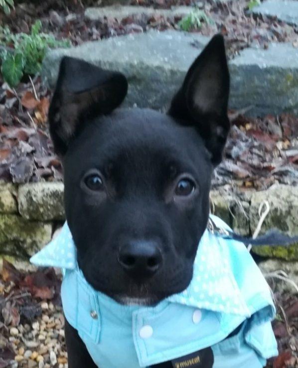 RAMSES mâle 4 mois type Staffordshire Bull Terrier