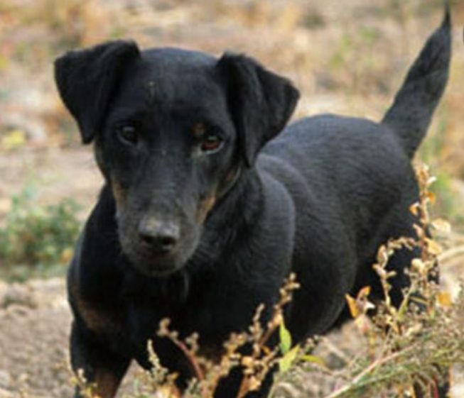 Charly Jagd terrier 1 an