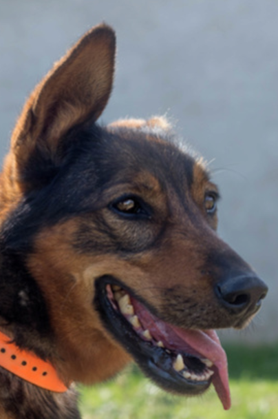 Indra femelle croisée Berger Allemand 4 ans
